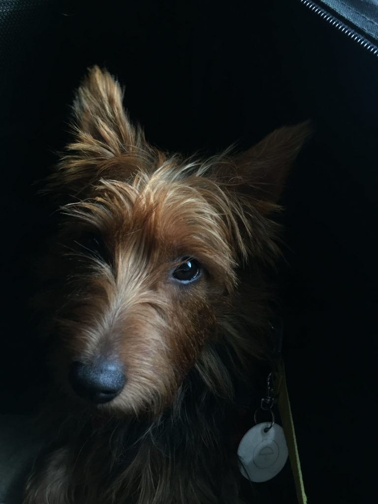 Australianterrier Kisu is looking from the darkness